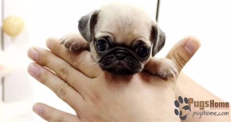 teacup pugs puppies for sale the guide to buying teacup pugs for sale tips
