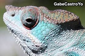 Panther Chameleon Shedding by Panther Chameleon Shed The Reptile Report