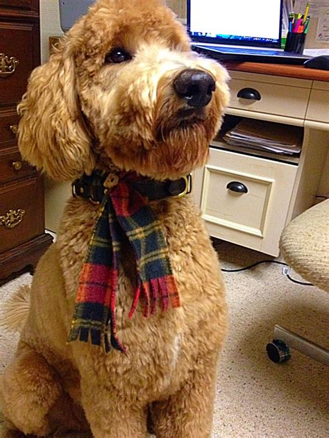 goldendoodle haircut styles best 25 goldendoodle haircuts ideas only on