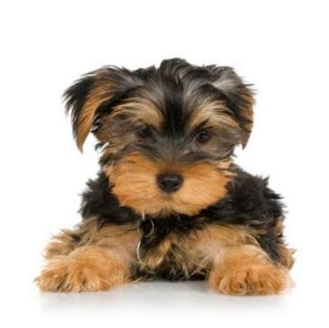 pictures of small dogs all small dogs images puppies wallpaper and background photos 32946603