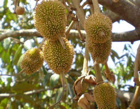 durian fruit tree nirankar is durian your cup of tea