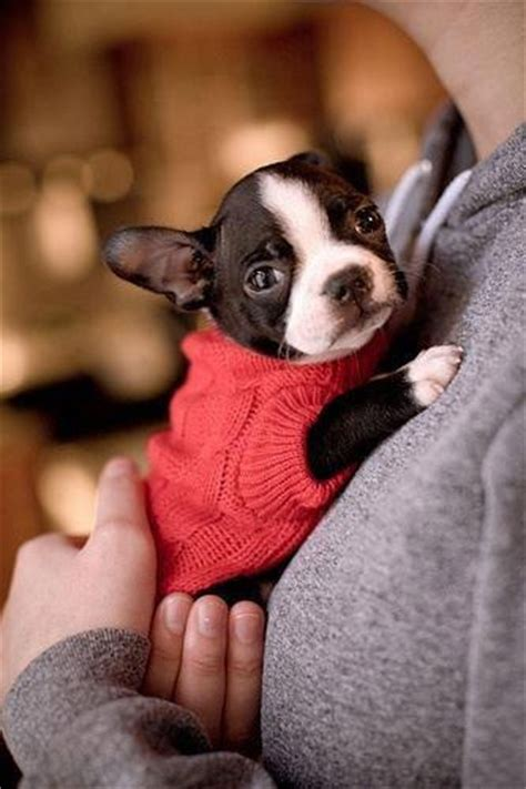 boston terrier puppies maine hug me baby boston boston terriers