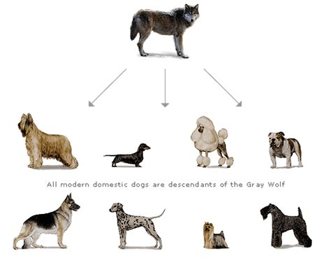 evolution of dogs evolution library evolution of the