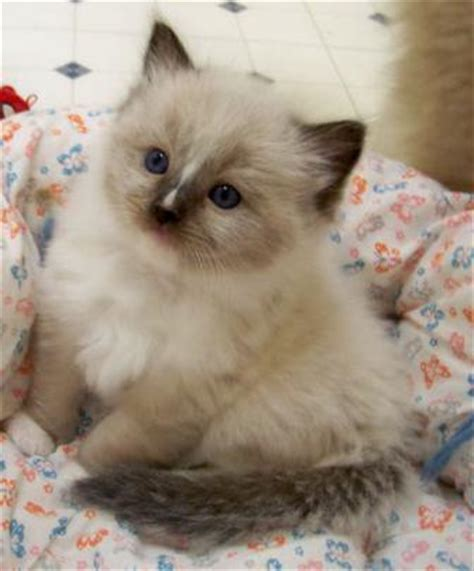 a ragdoll kitten care guide casey8 31 09reduced floppycats