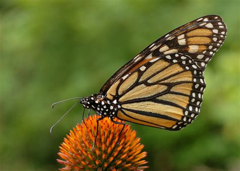monarch butterfly scott macleod s anthropology of information technology