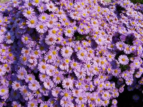 aster color fondos de pantalla asters muchas amellus violeta color