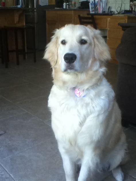 golden retriever 8 months 8 month golden retriever dogs more than
