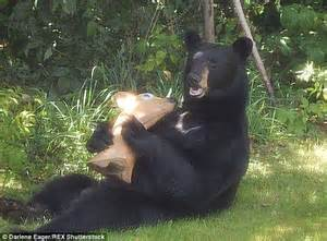 Fake Deer big black bear tries munches on a fake deer thinking it s the real