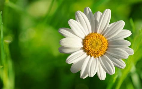 Flowers Images - camomile flower 1646028