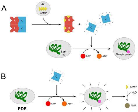 protein kinase g protein kinase a