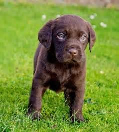 Years ago for sale dogs labrador retriever tenbury wells