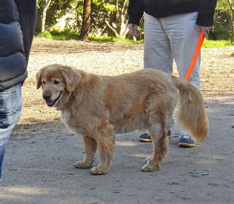 golden retriever tricks but why do you need to i all the tricks i need the dogs of san francisco