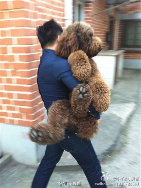goldendoodle puppy vomiting 19 best images about puppy on poodles