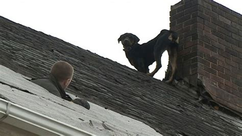 dog on a roof man abandons rottweiler on roof dog adopted by fireman