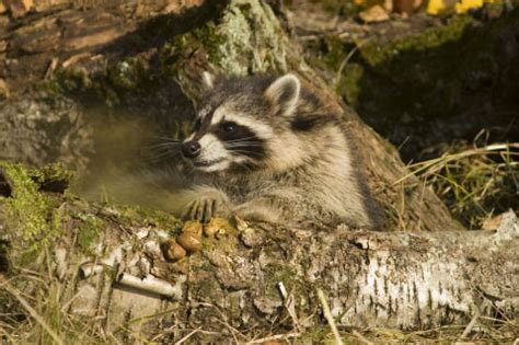 what color are raccoons dcr images animals of montana fall color photo shoot by