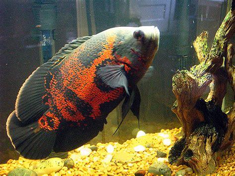 Ikan Oscar Kecil kumara oscar si buas yang menyenangkan