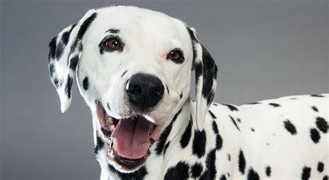 dalmatian puppies craigslist dalmatian breed information dalmatian dalmatian dogs and breeds