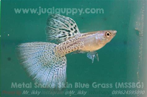 Makanan Ikan Hias Murah ternak perawatan dan cara budidaya ikan hias ikan guppy