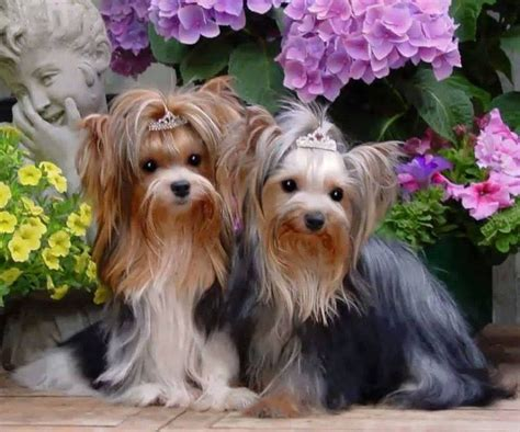 show pictures of yorkies 78 best yorkie show grooming images on yorkies terriers and animals