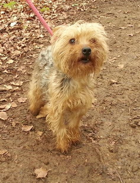 yorkie animal rescue rescue yorkie peterborough cambridgeshire pets4homes