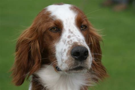 irish red and white setter dogs for sale irish red and white setter