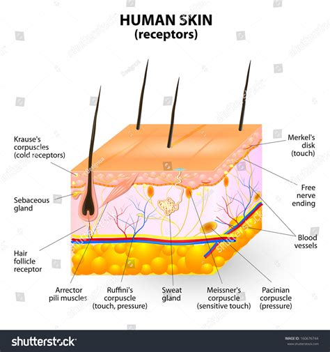 cross section of human skin cross section human skin pressure vibration stock vector