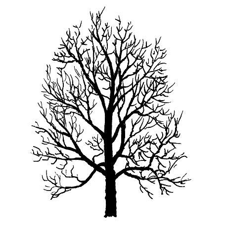 maple tree drawing big leaf maple acer macrophyllum pacific northwest tree