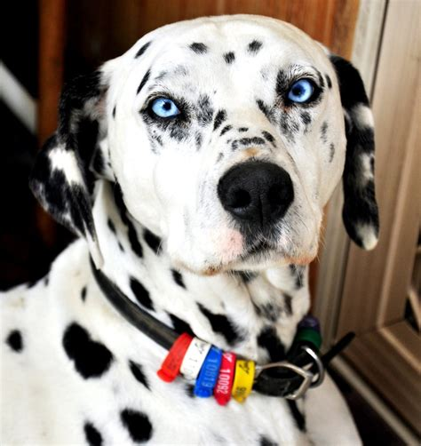 blue eyed dalmatian puppies for sale blue eyed puppy breeds picture