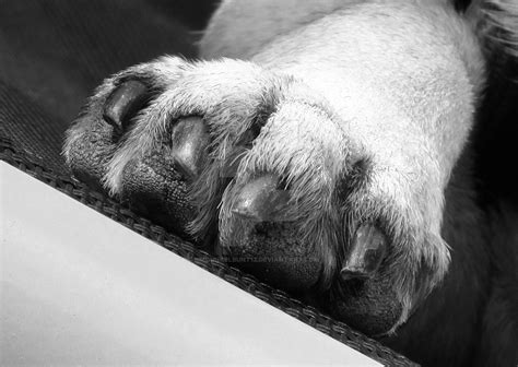 pug paw print pug paw by dunkelbunt12 on deviantart