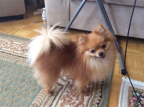 pomeranian price canada teacup pomeranian for sale adoption from toronto ontario adpost classifieds