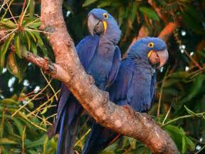 hyacinth macaws pictures fun animals wiki videos