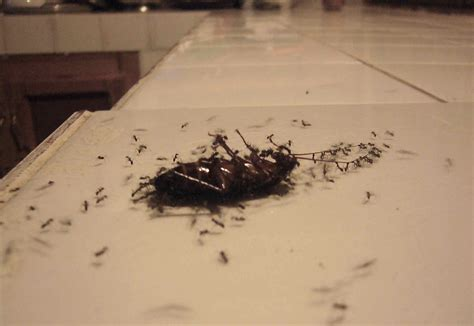 Baby Kakerlake by How To Get Rid Of Baby Roaches Cockroach Bed Bugs