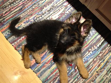 german shepherd puppies for sale rochester ny haired german shepherd melbourne dogs our friends photo