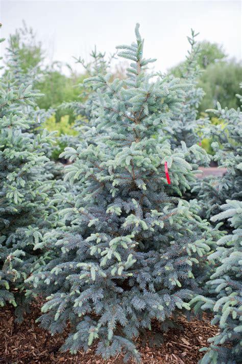 colorado blue spruce trees buy online at nature hills spruce baby blue eyes creekside tree nursery