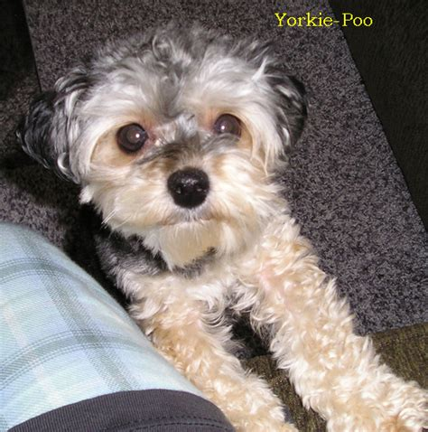 about yorkie poo yorkie poo information breeds picture