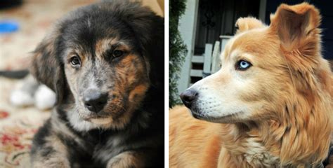 dalmatian and golden retriever mix 13 gorgeous golden retriever mixes you just to see