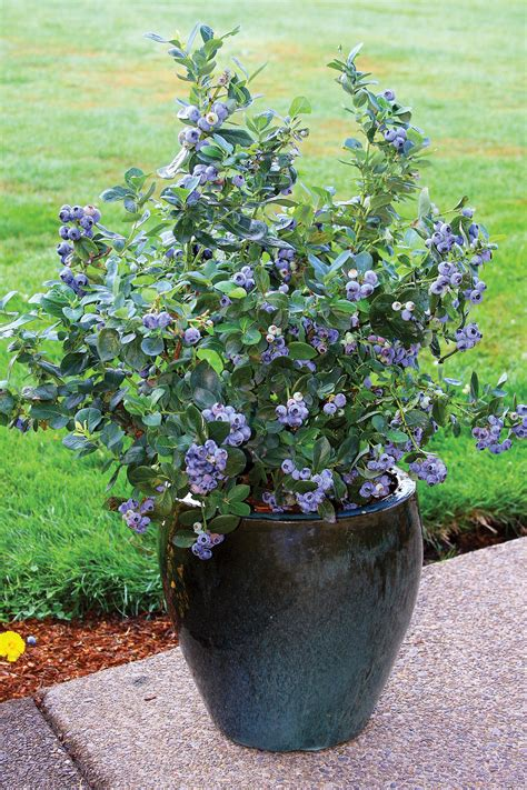 Blueberry Garden by Blueberry Growing Tips Fall Creek