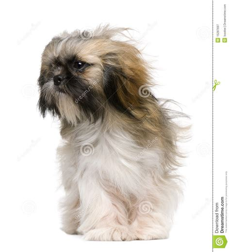 shih tzu 1 year shih tzu 1 year with windblown hair royalty free stock photography image 15287697
