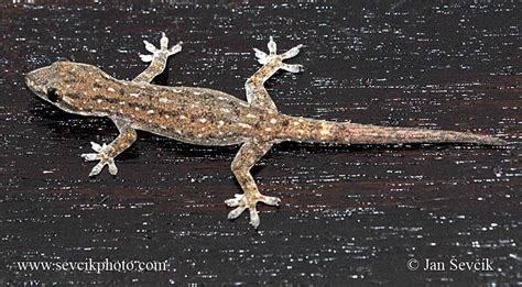 common house gecko picture of gekon hemidactylus frenatus common house gecko