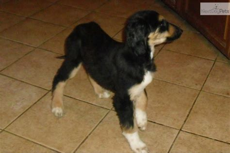 akc afghan hound puppies for sale meet a afghan hound puppy for sale for 600