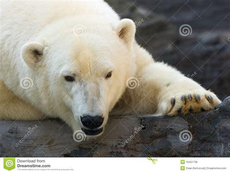 polar royalty free stock image image 16451736