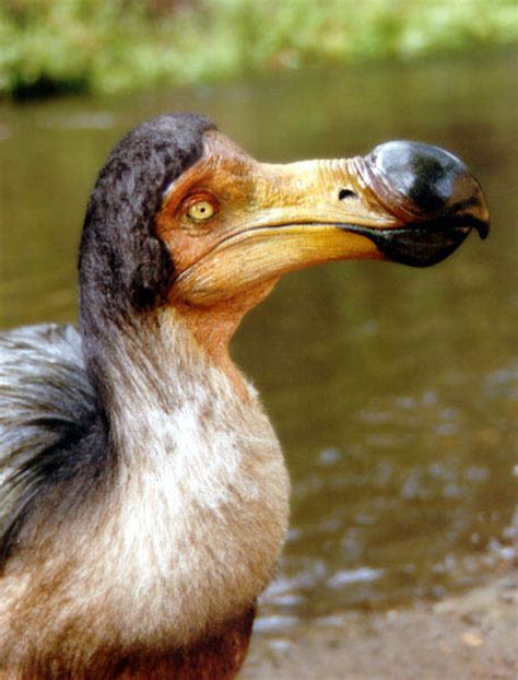 dodo info history and photos the wildlife