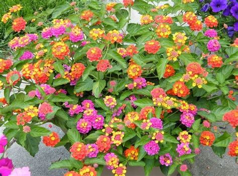 15 Benih Bunga Sweet William Mix macam macam tanaman hias bunga dan contohnya