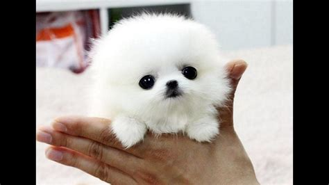 images of pomeranian puppies pomeranian puppies cutest compilation