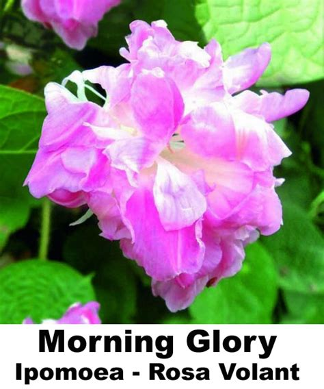 Jual Bibit Bunga Morning jual morning ipomea rosa volant benih biji bibit bunga anneui shop