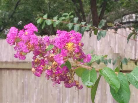 identification what is this pink lavender flowering shrub gardening landscaping stack