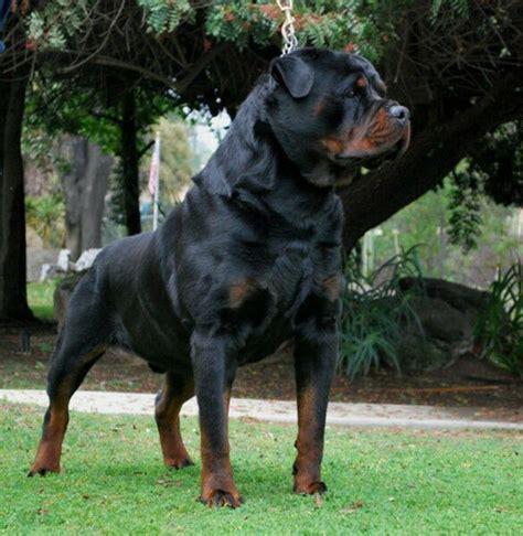 german rottweiler puppies  sale edmonton alberta canada dogs puppies  rehoming