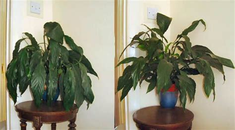 pictures    peace lily picture  left shows