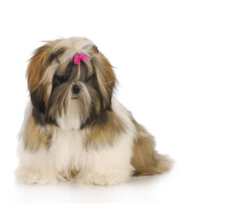 shih tzu top knot accessories 347 best images about shih tzu hairstyles on