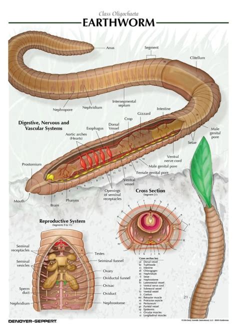 earthworm diagram earthworm dissection biotexan